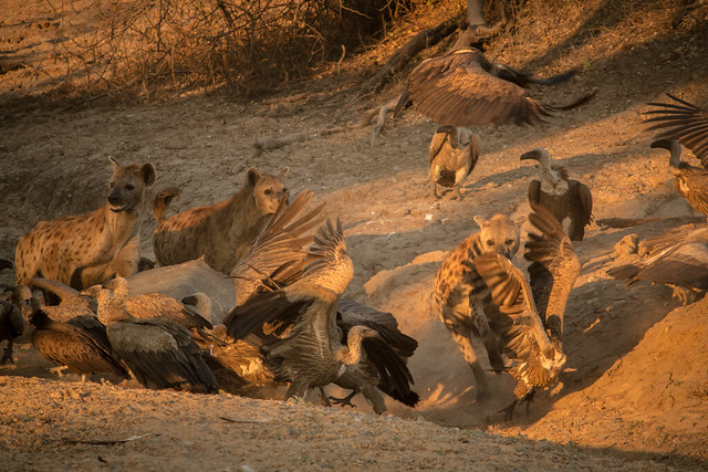 Hyenas Feeding - South Luangwa - Zambia