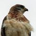 Swainson's Hawk male, light phase by annkelliott