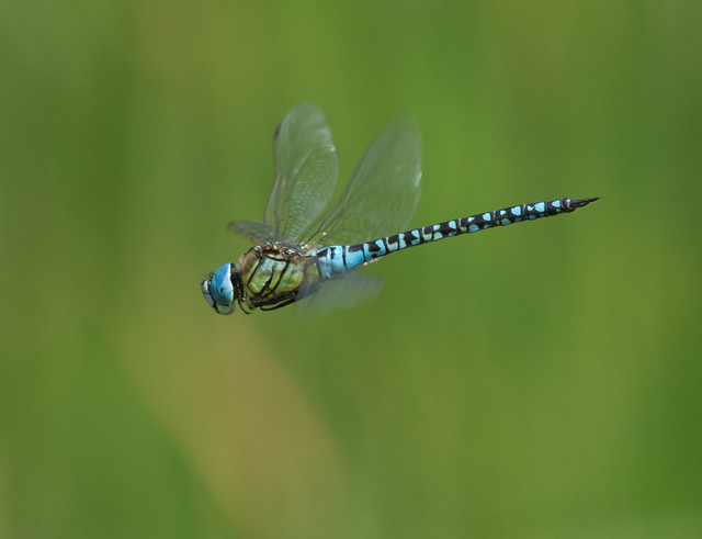 Southern migrant hawker Aeshna affinis 3
