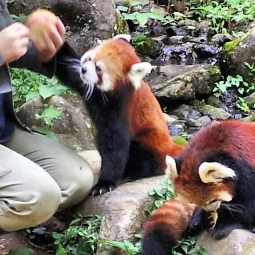 red panda 多摩動物公園にて #zoo #animal