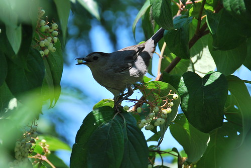 Gray Catbird with Berry in Beak