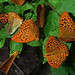 Silver-washed Fritillaries and a Comma (Tony Daniels)