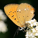 Scarce Copper (Denise Whittle)