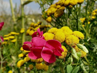 Colorful High Summer Delight. Lathyrus tuberosus, Tuberous Sweetpea, and Tanacetum vulgare, Tansy or Golden Buttons, Océ-weerd, Meuse Corridor, Venlo, The Netherlands