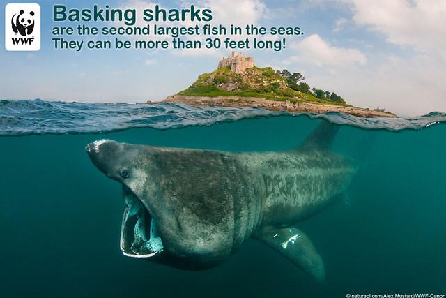 basking-shark-vs-whale-shark Images - Frompo - 1