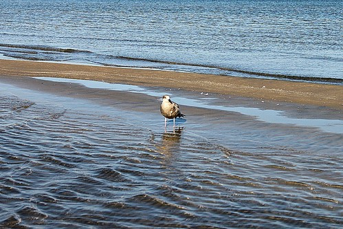 Female Ring-Billed Gull On Sand Bar At Wasaga Beach 001
