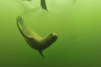 Diving with sea lions in Peru with Nature Expeditions (3)