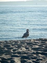 Golden Gardens Sea Gull