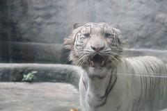 animal, big cats, zoo, tiger, mammal, fauna, whiskers,