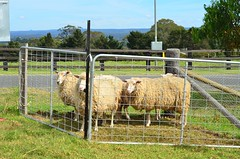 Sheep penned and ready for shearing