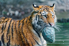 [Free Images] Animals 1, Tigers ID:201209021000