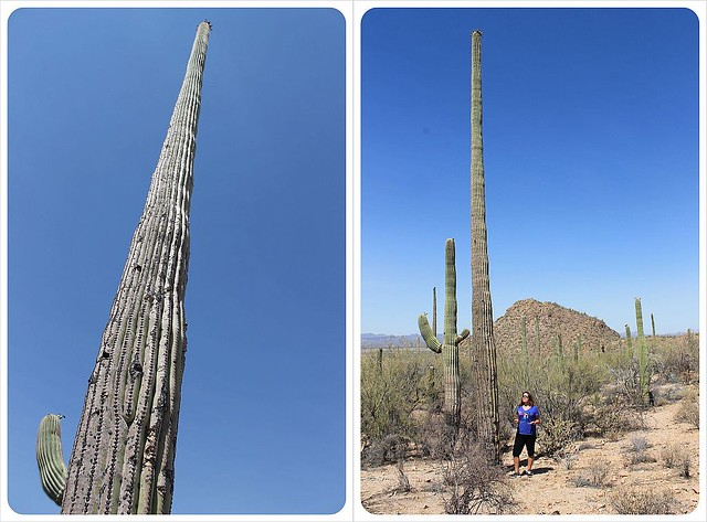 huge saguaros in arizona