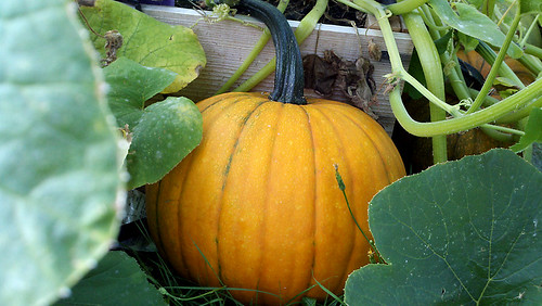 Pumpkin Progress by dragonflydesignstudio