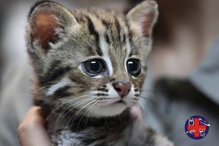 台灣的石虎幼體以及亞成體常因人為因素死亡。(圖片來源:特生中心野生動物急救站臉書粉絲團)