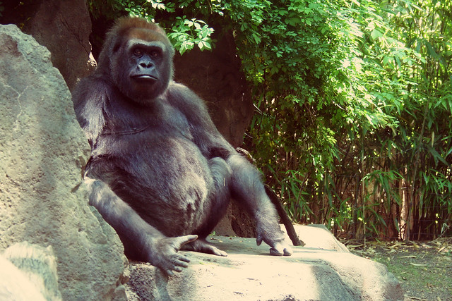 Gorillas are cool.
