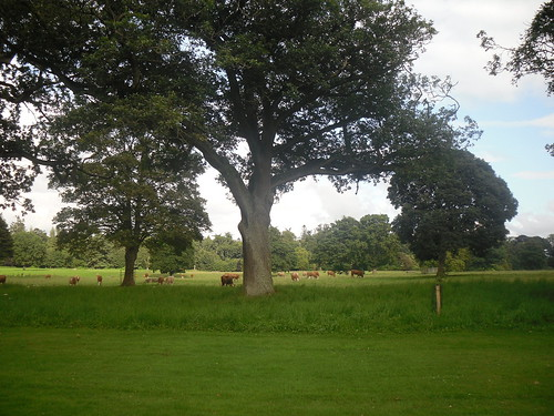 cows at Glamis Castle, Angus, Scotland