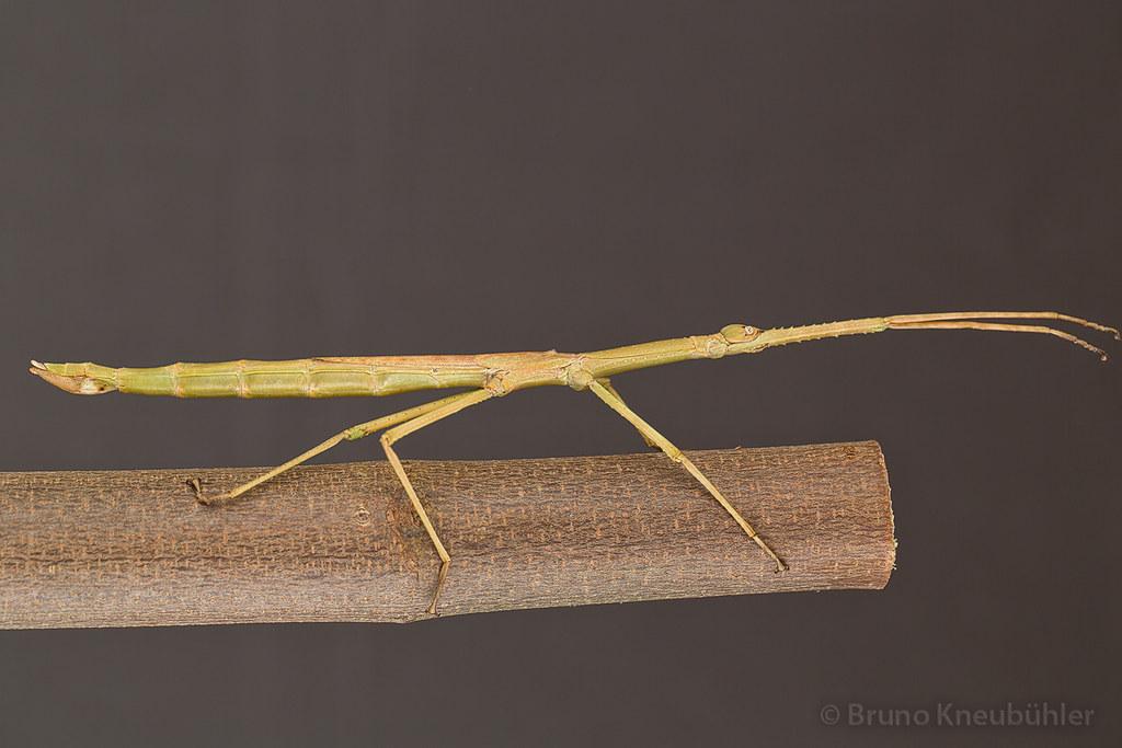 """Anchiale sp. """"Buru"""" (Phasmatodea) - new species 7906789050_96dc2d5be6_b"""