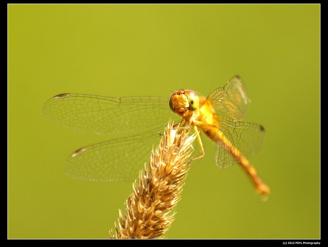 Autumn Meadowhawk a.k.a. Yellow-legged Meadowhawk (Sympetrum vicinum)