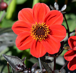 'Preston Park Dahlia a Bright Scarlet Single with black foliage
