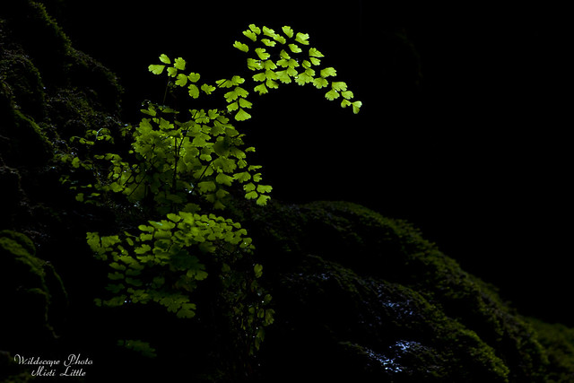 maidenhair3