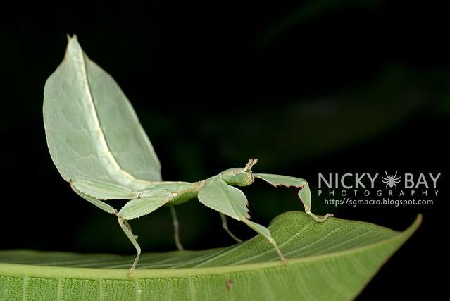 Gray's Leaf Insect (Phyllium bioculatum) - DSC_4986