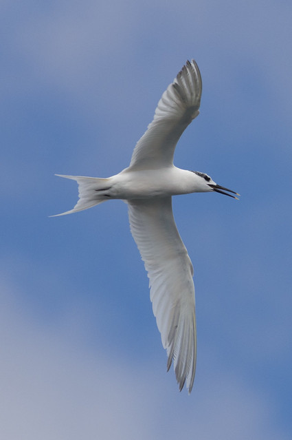 sandwich tern in flight 3  - Puerto del Carmen Marina