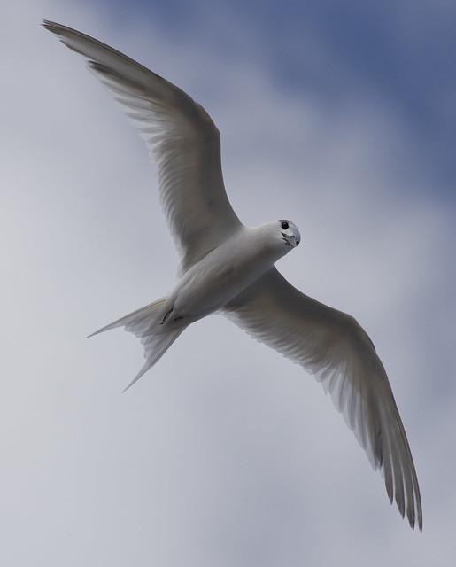 sandwich tern underside in flight 2 - Puerto del Carmen Marina