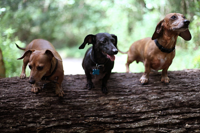 Buddy Sausage Dog Secret Life Of Pets