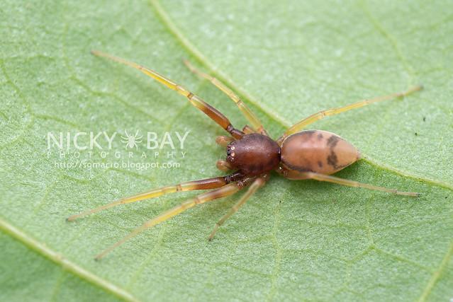 Corinnidae, Utivarachna phyllicola - DSC_4041