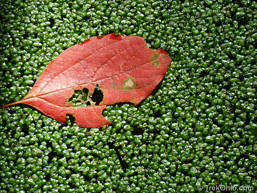 Leaf and Duckweed