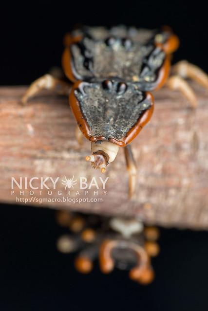 Trilobite Beetle (Platerodrilus sp.) - DSC_2018