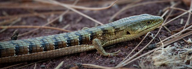 Southern Alligator Lizard, Lincoln, Oregon