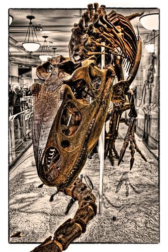 New York City USA – American Museum of Natural History – David H. Koch Dinosaur Wing – Allosaurus fragilis posed as scavenging an Apatosaurus 02