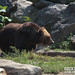 Brown Bears @ Bronx Zoo