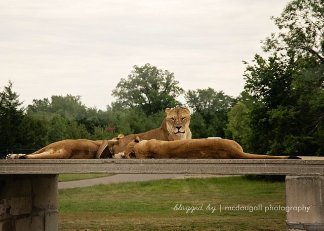 Day 175 - African Lion Safari