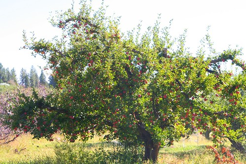 Apple Tree, Autumn Equinox