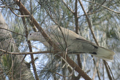 Eurasian Collared-Dove - Streptopelia decaocto - Manatee County, Florida, USA - July 2, 2016