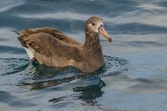 Albatrosses and Pelagic Birds