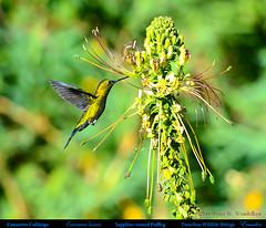 SAPPHIRE-VENTED PUFFLEG Eriocnemis luciani Feeding at Flamboyant Flowers at the Pasochoa Wildlife Refuge in Northern ECUADOR. Hummingbird Photo by Peter Wendelken.