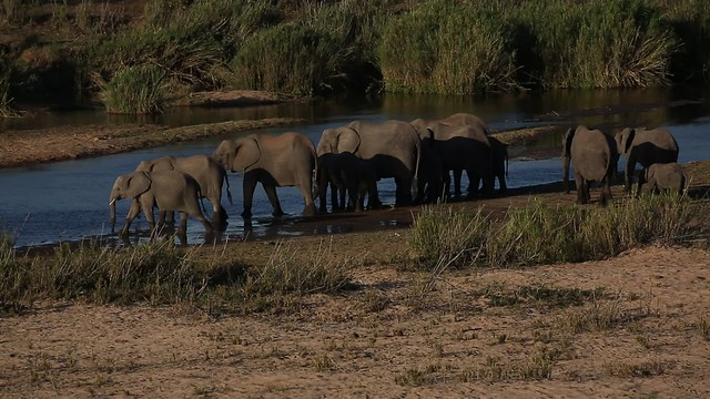 Elephant herd crossing the river  - Explored
