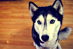 alaskan malamute(0.0), dog breed(1.0), animal(1.0), dog(1.0), miniature siberian husky(1.0), alaskan klee kai(1.0), siberian husky(1.0), pet(1.0), mammal(1.0), east siberian laika(1.0), greenland dog(1.0), northern inuit dog(1.0), close-up(1.0), sled dog(1.0),