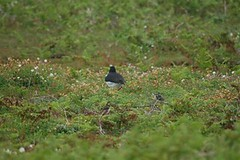 Oystercatcher and chick on Skomer