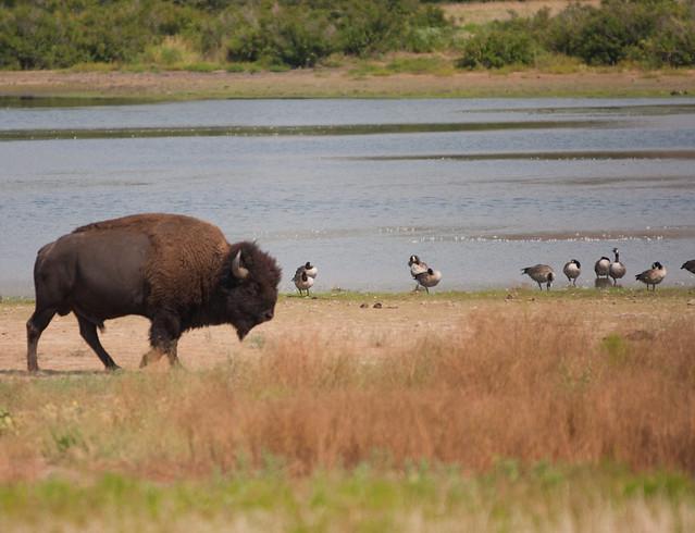 Bison Oklahoma Bison or Buffalo Wichi...