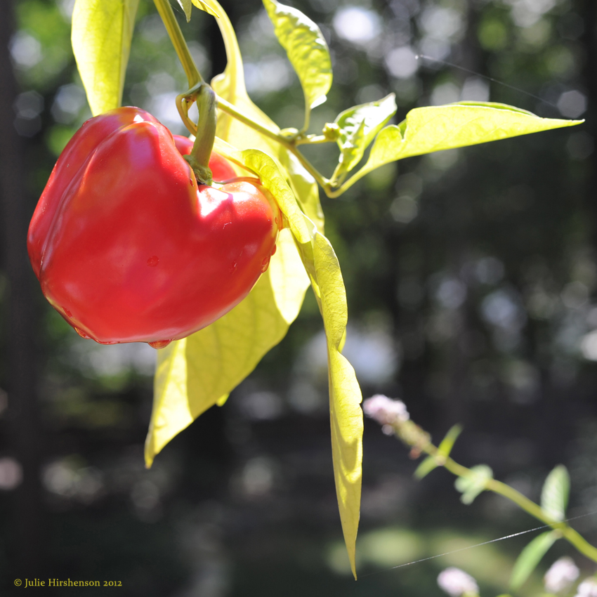Ripe Red Pepper