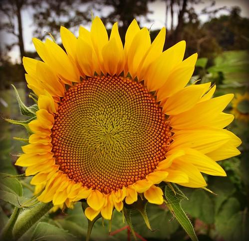 sunflower by oyabakamama