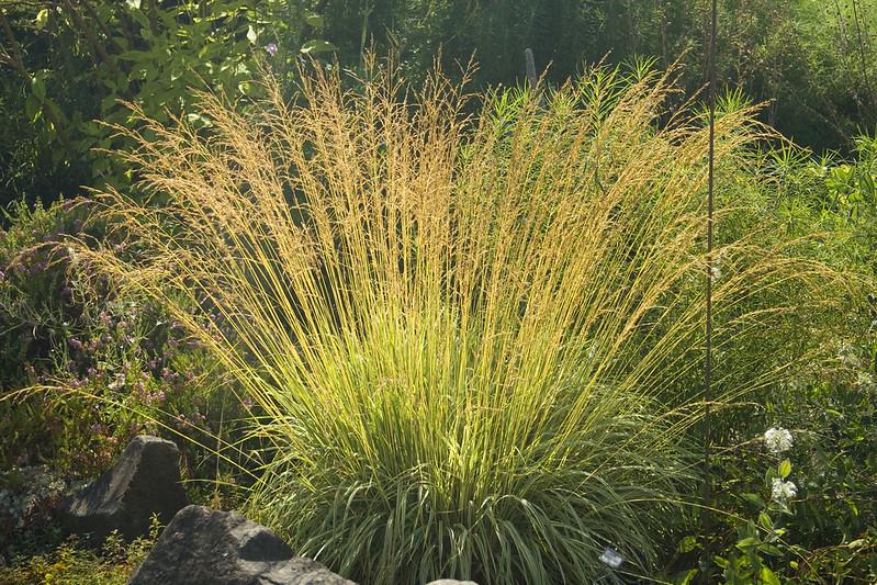 Molinia variegata