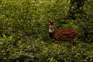 The chital or cheetal (Axis axis)