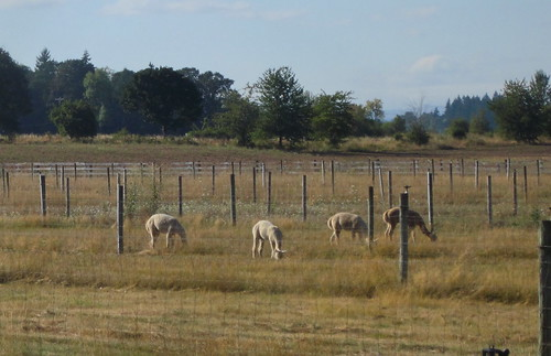 The alpacas are back!
