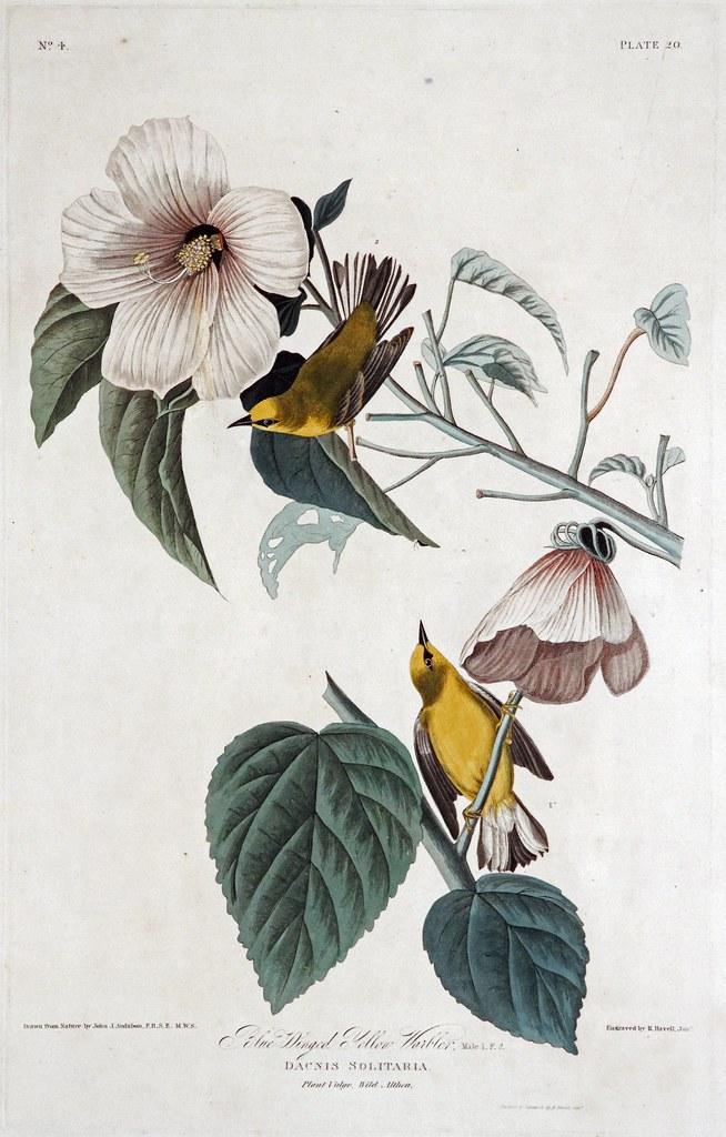 14 Audubon - Kittiwake Gull.jpg