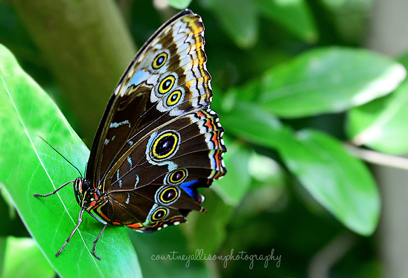 Photographed at the Butterfly Conservatory at the Museum of Natural Science.